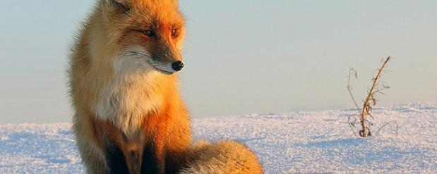 В одном из районов Нижегородской области из-за бешеной лисы ввели карантин